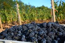 wineharvest